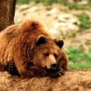 Бурый кавказский медведь