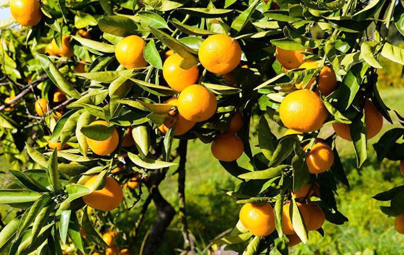 Сезон сбора мандаринов в Абхазии в самом разгаре